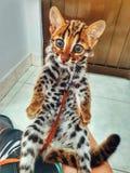 Мой кот, прекрасный азиатский кот, leo стоковая фотография rf