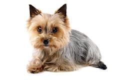 Мой маленький terrier Йоркшира Стоковое фото RF