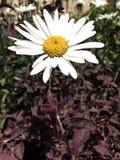 Мой солнцецвет моим IPhone Стоковая Фотография