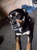 мой щенок стоковое изображение rf