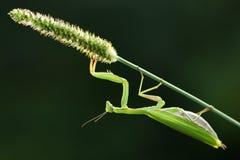 молить завода mantis Стоковые Изображения RF