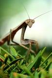 молить mantis макроса bush Стоковое Изображение RF