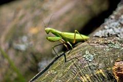 молить mantis окружающей среды естественный Стоковые Фотографии RF