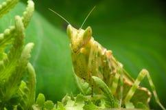 молить mantis цветка Стоковая Фотография