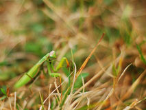 молить mantis Стоковое Изображение RF