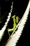 молить mantis Стоковое фото RF