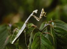 молить mantis Стоковое Изображение