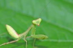молить mantis Стоковое Фото