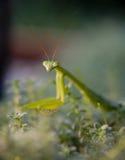 молить mantis Стоковая Фотография RF