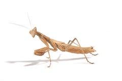 молить mantis Стоковые Изображения RF