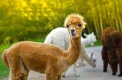 Молодая альпака с комичной стороной Стоковая Фотография