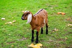 Молодая англо-Nubian коза в поле Стоковое Изображение