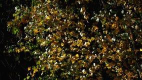Молодая береза в березе леса осени Листья в ветре видеоматериал