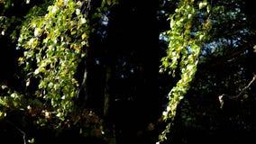 Молодая береза в березе леса осени Листья в ветре акции видеоматериалы