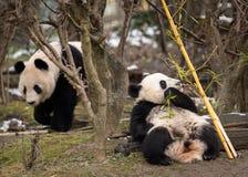 Молодая гигантская панда есть бамбук и его мать стоковая фотография rf
