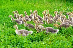 молодая гусыня на времени 1 месяца идя на траву Стоковые Изображения