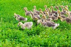 молодая гусыня на времени 1 месяца идя на траву Стоковое Изображение RF