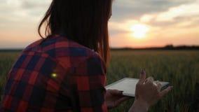 Молодая девушка с планшетным компьютером, работающая на пшеничном поле на закате Девочка использует планшет, собирается собрать у акции видеоматериалы