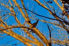Молодая дикая Турция в дереве стоковая фотография rf