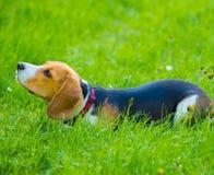 Молодая женская собака бигля лежа в траве Стоковое Изображение