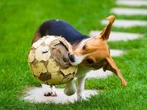 Молодая женская собака бигля с старым футболом Стоковое Фото