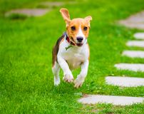 Молодая женская собака бигля Стоковое Фото