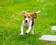 Молодая женская собака бигля Стоковое Изображение