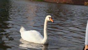 Молодая женщина кормит красивый белый лебедя на береге пруда сток-видео