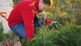 Молодая женщина крестьянская в красном свитере и голубых джинсах выкапывает вверх морковь и свеклу в кровати сада близкие руки вв акции видеоматериалы