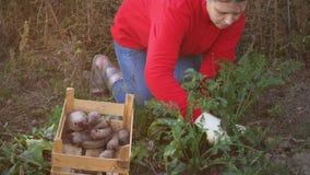 Молодая женщина крестьянская в красном свитере и голубых джинсах выкапывает вверх морковь и свеклу в кровати сада близкие руки вв видеоматериал