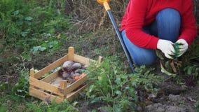 Молодая женщина крестьянская в красном свитере и голубых джинсах выкапывает вверх морковь и свеклу в кровати сада близкие руки вв сток-видео