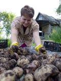 Молодая женщина сортирует урожай картошки стоковое изображение rf
