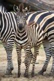 Молодая зебра в расчистке Стоковые Изображения RF