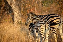 Молодая зебра остается близко к дому стоковые изображения rf