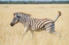 Молодая зебра скача счастливо через сухую желтую траву на национальном парке Etosha, Намибии, Африке стоковые фотографии rf
