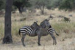 Молодая зебра с коричневым пушистым пальто стоковое изображение rf