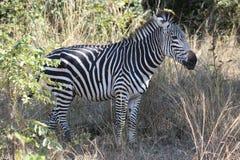 молодая зебра стоковая фотография