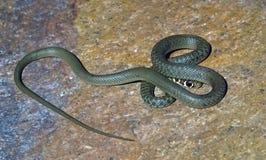 Молодая зеленая змейка хлыста от Италии Стоковое Изображение RF