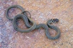 Молодая зеленая змейка хлыста от Италии Стоковые Изображения RF