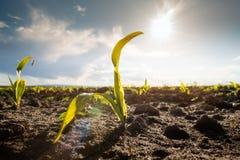 Молодая зеленая мозоль на черенок в поле стоковые фото