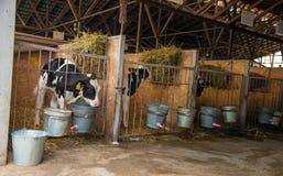 Молодая икра на деле молокозавода фермы коровы, агробизнес, коммерция Стоковые Изображения RF