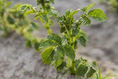 Молодая картошка на крышке почвы конец-вверх завода Зеленые всходы молодых заводов картошки пуская ростии от глины в стоковые фотографии rf