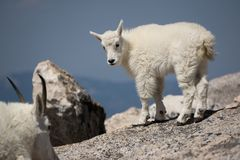 Молодая коза горы стоковое изображение