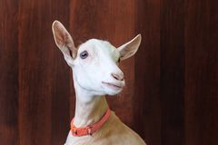Молодая коза на деревянной предпосылке большой портрет стоковое фото