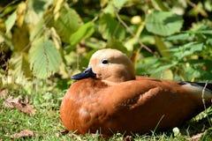 Молодая коричневая утка на траве стоковые изображения
