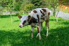 Молодая корова икры пася на зеленой лужайке Стоковая Фотография RF