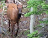 Молодая корова лося в лесе стоковое изображение rf