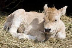 Молодая корова Стоковые Изображения