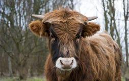 Молодая корова galloway Стоковое Изображение RF