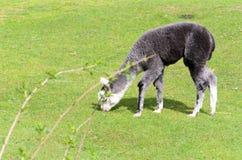 Молодая лама пасет на зеленом луге на солнечном утре весны стоковое изображение